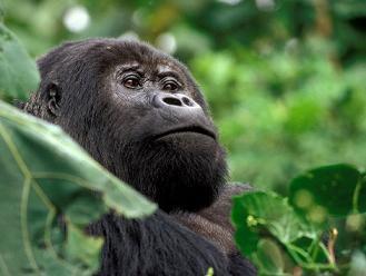 Gorille management dans encadrement gorilledesmontagnesdansleparcnationaldevirunga940x705